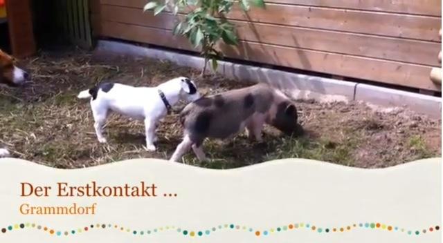 Schweine und die Hunde
